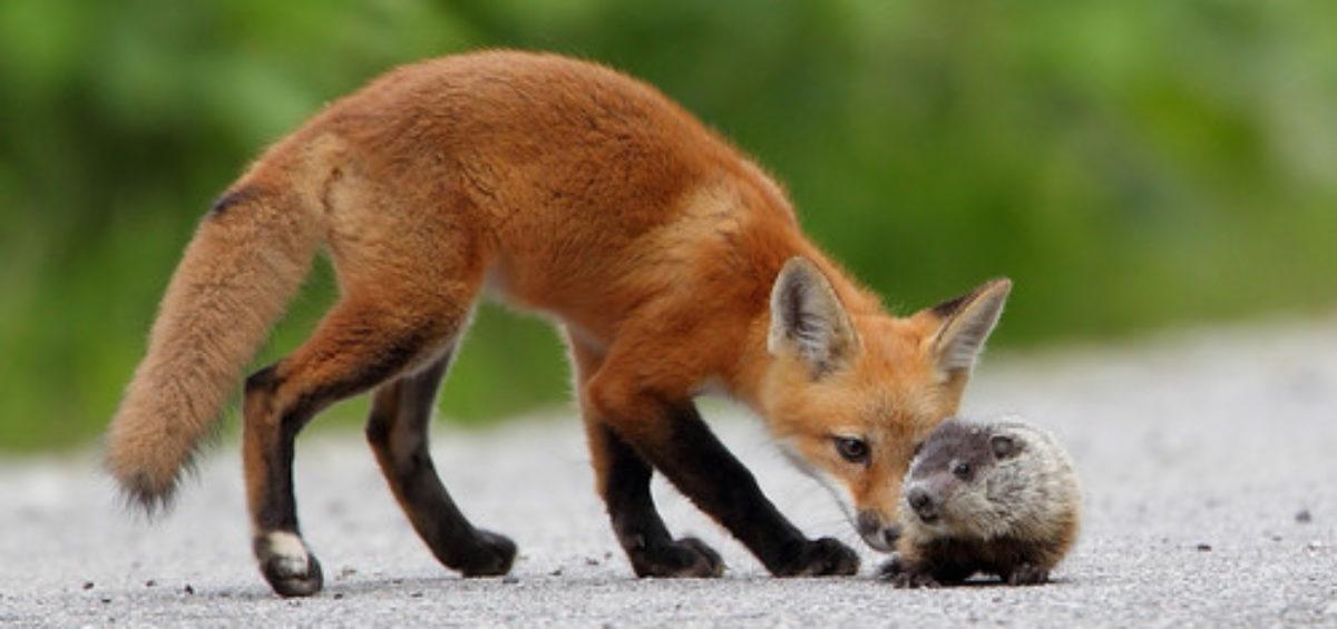 fox or hedgehog